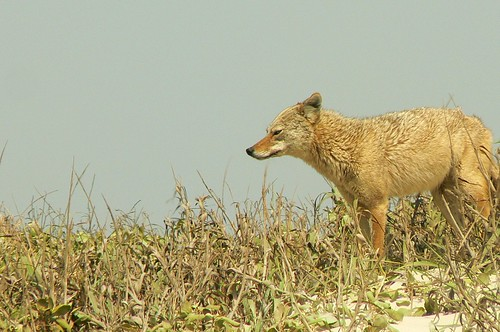 Coyote at Padre Island National Seashore