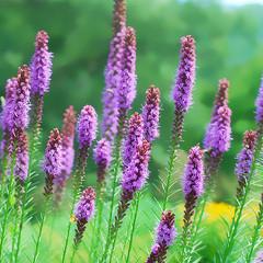 hyssopus(0.0), prairie(0.0), lavandula stoechas(0.0), dactylorhiza praetermissa(0.0), flower(1.0), english lavender(1.0), lavender(1.0), lilac(1.0), lavender(1.0), herb(1.0), wildflower(1.0), flora(1.0), meadow(1.0),