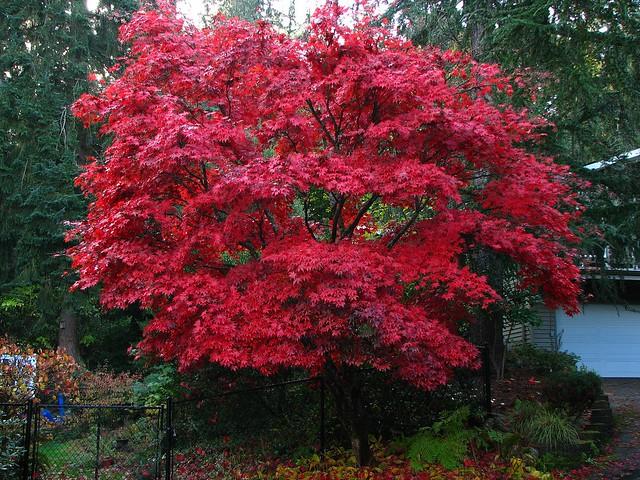 japanese maple bloodgood flickr photo sharing