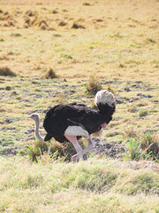 Male Ostrich