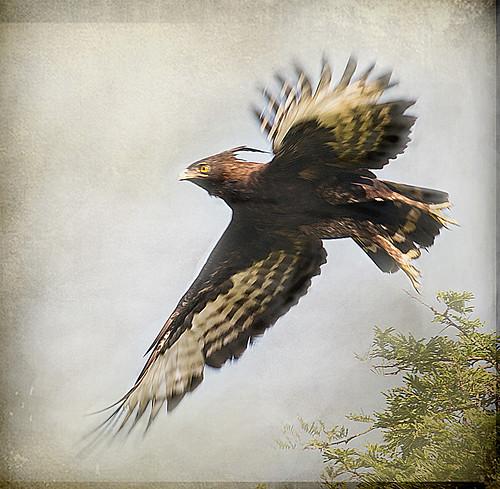 africa hawk explore uganda crested naturesfinest avianexcellence mauekay