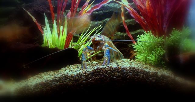 Header of The Blue Lobster