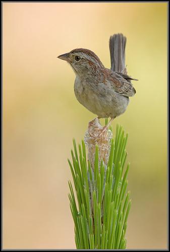 nature birds fauna florida bachmanssparrow aimophilaaestivalis alachuacounty longleafflatwoodsreserve canon40d700mmf81125iso200avspotnoflash