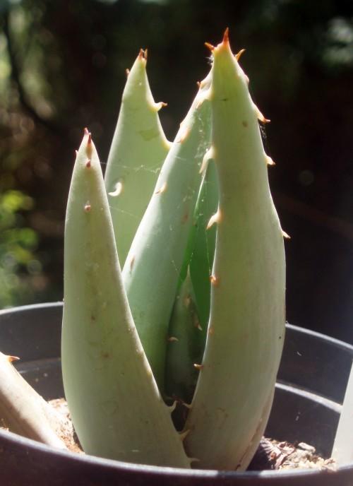 Aloe peglerae 5760839666_2b6f5190cb_o