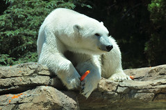San Diego Zoo - Polar bears like carrots (who knew?)