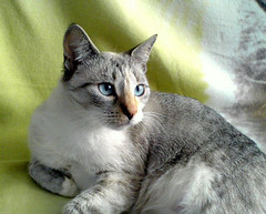 animal, small to medium-sized cats, pet, mammal, european shorthair, american shorthair, cat, whiskers, domestic short-haired cat,