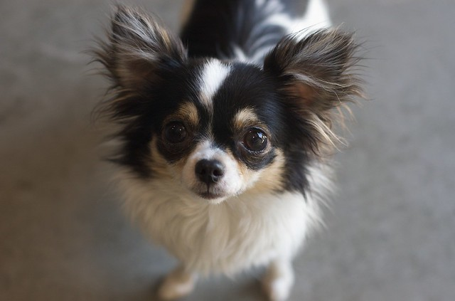 spotted chihuahua hairy spotted chihuahua flickr photo sharing 3441