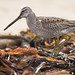 Long-billed Dowitcher - Photo (c) Mike Baird, some rights reserved (CC BY)