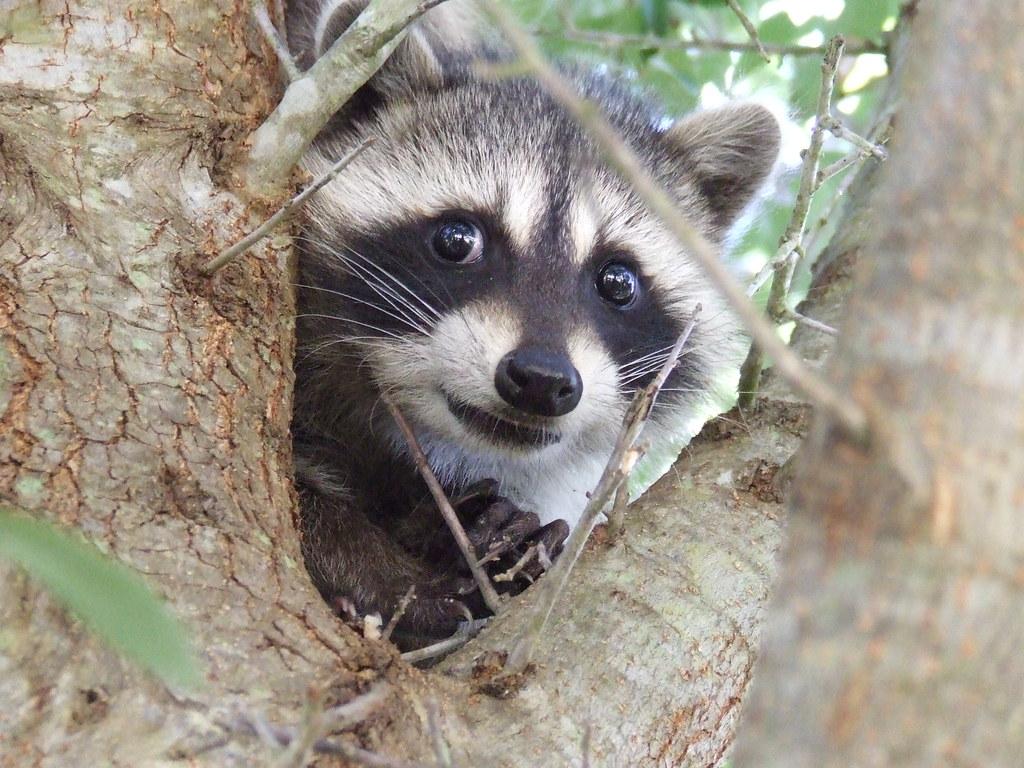 Raccoon Appreciation Day — Marvel Heroes Omega Raccoons As Pets