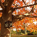 Small photo of Acer rubrum - Autumn Flame