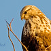 Rough-legged Hawk at Sunset