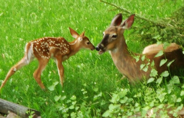 mother and baby deer | Flickr - Photo Sharing!