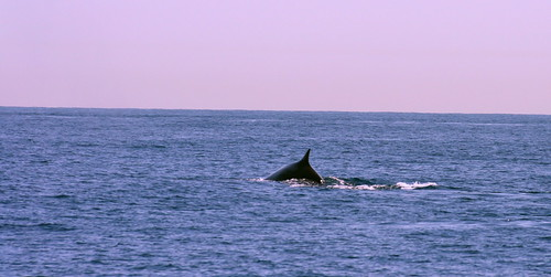 Whales bound to the Liguria sea. Ballenas hacia el Mar de Liguria.