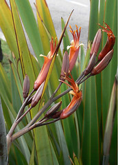 New Zealand flax - Photo (c) Fabián Montojo, some rights reserved (CC BY-NC-ND)