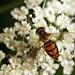 Hoverfly (Toxomerus marginatus) ♀
