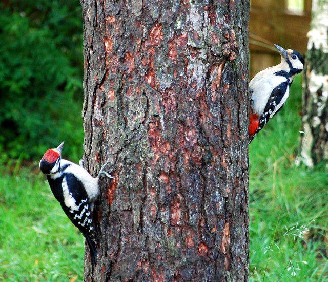 Adult female and juvenile male great spotted woodpeckers