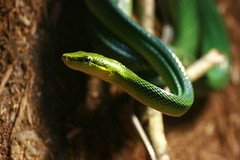 animal, serpent, western green mamba, snake, reptile, macro photography, green, fauna, close-up, scaled reptile, wildlife,