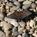 Propertius Duskywing - Photo (c) randomtruth, some rights reserved (CC BY-NC-SA)