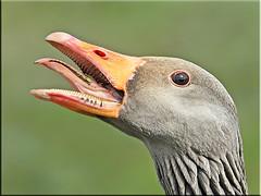 Angry Greylag Goose.