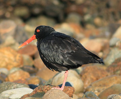 Variable Oystercatcher - Photo (c) Andrew Barclay, some rights reserved (CC BY-NC-ND)