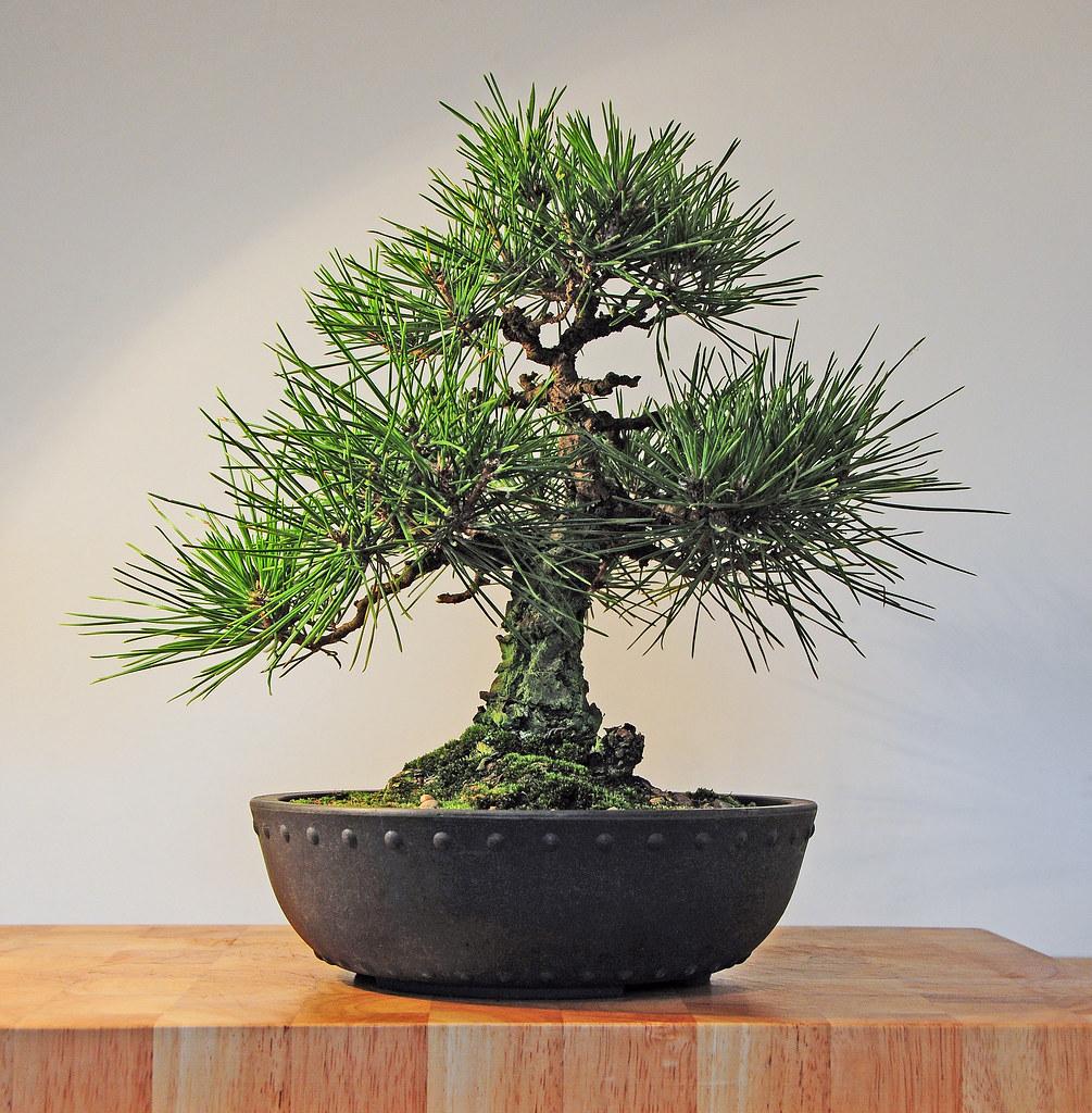 Japanese Black Pine Bonsai Tree (Pinus thunbergii) - a ...