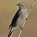 Townsend's Solitaire - Photo (c) Jerry Oldenettel, some rights reserved (CC BY-NC-SA)