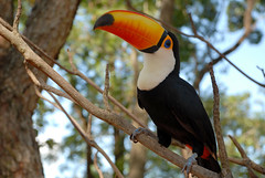 coraciiformes(0.0), animal(1.0), hornbill(1.0), branch(1.0), toucan(1.0), nature(1.0), fauna(1.0), beak(1.0), bird(1.0), wildlife(1.0),