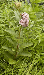 Common Milkweed - Photo (c) George F Mayfield, some rights reserved (CC BY-SA)