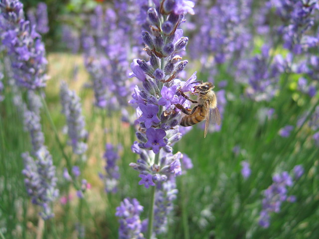 vespa su un fiore di lavanda 02