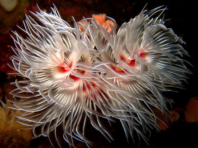 Feather Duster Fan Worm