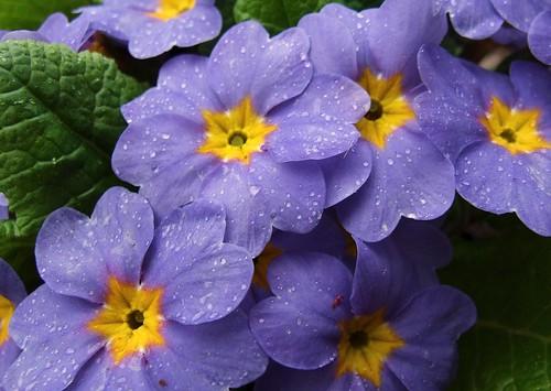 ohio interestingness purple cleveland explore primula sweetkiss kirtland holdenarboretum unlimitedphotos lanterncourt treehugger007 theenchantedcarousel myprimulapoem myfirstflickrpoem0 vanagram
