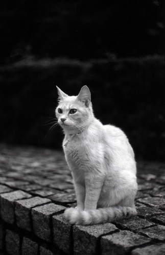 smart and manly cat (Leica M3)