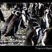 Chile-magellanic-penguins-group-magdalena-island