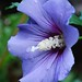 ~Blue Rose of Sharon!~