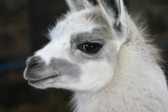 alpaca(0.0), vicuã±a(0.0), animal(1.0), mammal(1.0), llama(1.0), fauna(1.0), guanaco(1.0), close-up(1.0),
