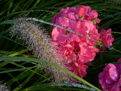 Flowers at North Point Park - Sprinkler dew on pink flowers & nearby stalk
