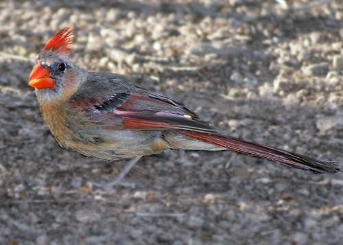 arizona bird phoenix cardinal desertbotanicalgarden northerncardinal femalenortherncardinal jhaskellus jhaskell jackhaskell