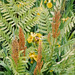 Royal Fern - Photo (c) alexlomas, some rights reserved (CC BY)