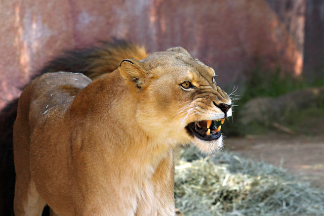 angry lioness - photo #17