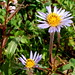 Small photo of Alpine Aster - Aster alpigenus