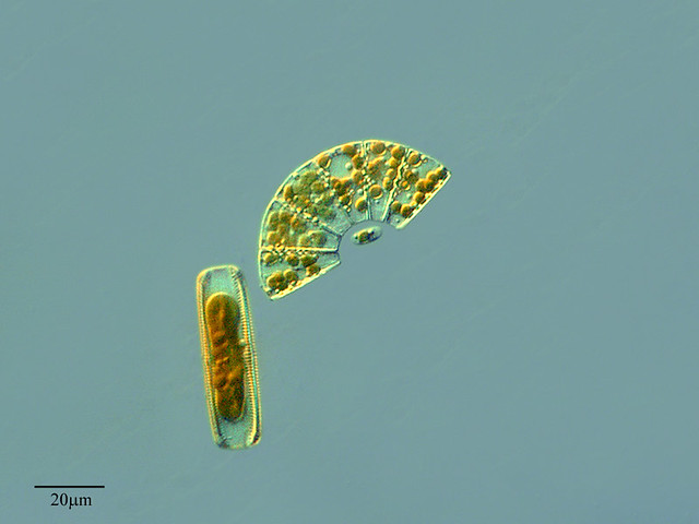 Algas Microscopicas