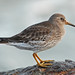 Purple Sandpiper - Photo (c) Jerry Oldenettel, some rights reserved (CC BY-NC-SA)