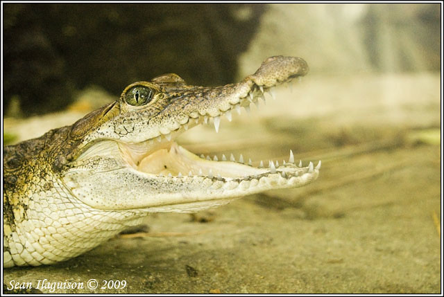Philippine crocodile - photo#18