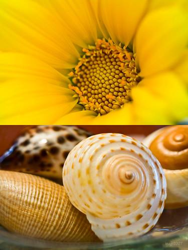 ocean california sea shells flower nature yellow seashells canon garden photography virginia flickr earth v rebelxt paradox canon100mmmacro virgie the99 pinoykodakero theperfectphotographer imago2007