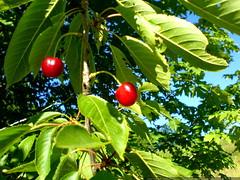 cherries growing wild on cornell st.   DSC01409