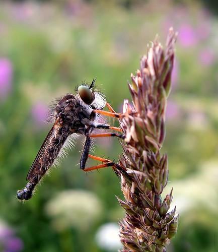 summer hairy macro eye nature field grass canon finland insect beard maria images robberfly sue kesä kerimäki luonto laakso hyönteinen anttola mywinners easternfinland canonpowershota710is marialaakso sue323 petokärpänen
