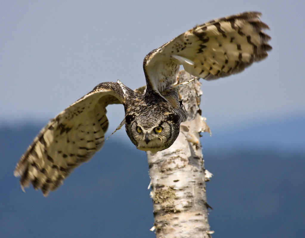 Great Horned Owl Flying | Nature & Wildlife Posting Guidelines ...