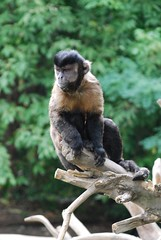 animal(1.0), monkey(1.0), mammal(1.0), fauna(1.0), old world monkey(1.0), new world monkey(1.0), macaque(1.0), wildlife(1.0),
