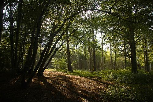 Beech Woodland near Warnham
