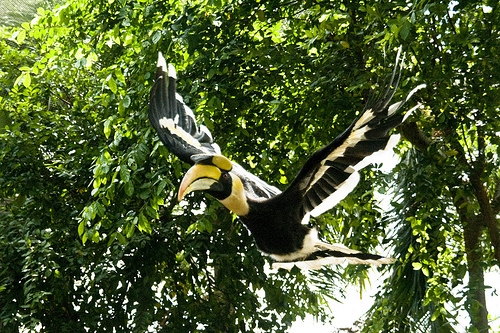 GREAT INDIAN HORNBILL STATE BIRD OF ARUNACHAL PRADESH ...